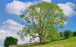 ash-tree_2382286b