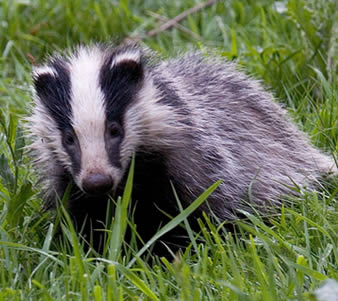 badger-3