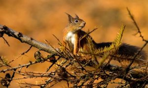 Red squirrel in larch tree, Ireland